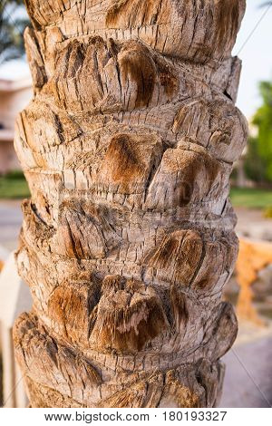Close Up Of A Dates Palm's Bark. Texture Palm.