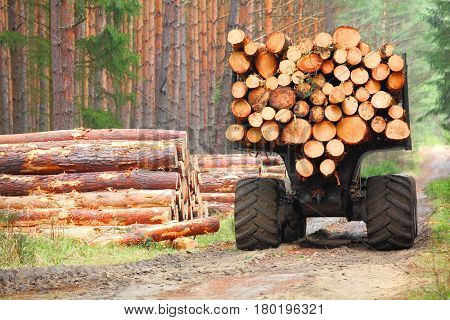 The harvester working in a forest. Harvest of timber. Firewood as a renewable energy source. Agriculture and forestry theme.