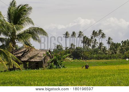 Rice fields with hut and coco palm trees. Tropical nature horizontal photo. Traditional rice growing in Asian country. Agriculture field with scarecrow. Green grass field image. Exotic island scenery