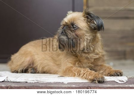 The dog, the Brussels griffon, lies on the carpet on an open balcony
