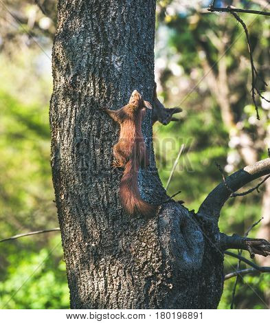 Squirrels climbing tree trunk in Gellert hill park in Budapest, Hungary, on sunny clear spring day