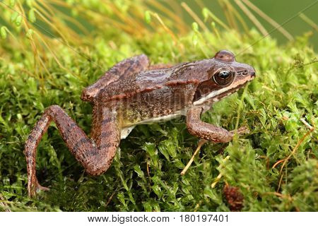 Immature Wood Frog (Rana sylvatica) on moss. It takes two years for this species to reach maturity. This animal is less than a year old.