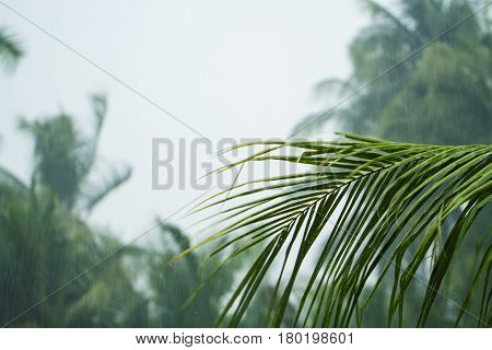 Green coco palm leaves on white cloudy sky background. Palm tree during rain season. Tropical winter banner template. Typhoon on exotic island. Rainy weather in coco tree garden. Green banner template