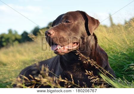 chocolate labrador lying in grass field in summer