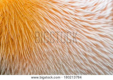 Orange and pink feathers of pelican texture close view