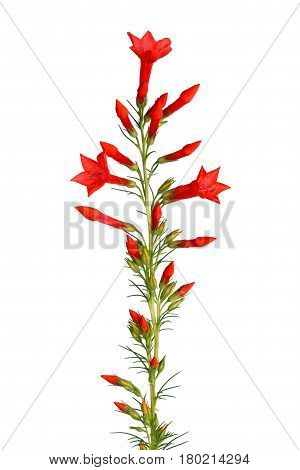 Single stem with bright-red flowers of Ipomopsis aggregata cultivar Hummingbird also called scarlet trumpet scarlet gilia or skyrocket isolated against a white background
