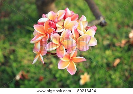 Close up of pink plumeria flowers, topical garden, Thailand