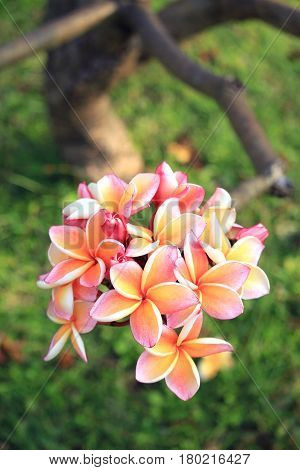 Close up of pink plumeria flowers, Tropical garden in Thailand