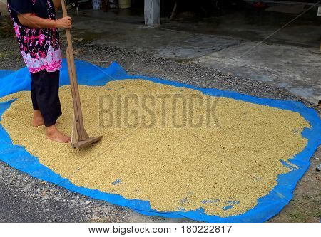 woman in colorful pink and purple top spreading freshly picked rice out to dry, using a handmade wooden rake