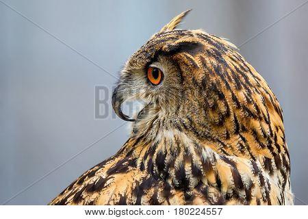 Close-up of eurasian eagle-owl or Bubo bubo