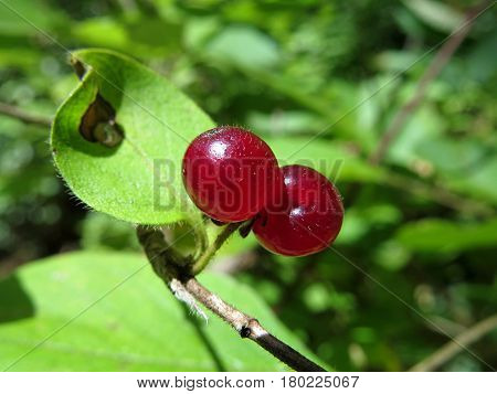 Native red currants fruit on a fruit tree bush in garden