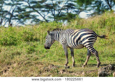 Zebra grazing in savanna with green grass background