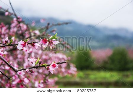 Blossoming peach flowers in spring, Guilin, China.