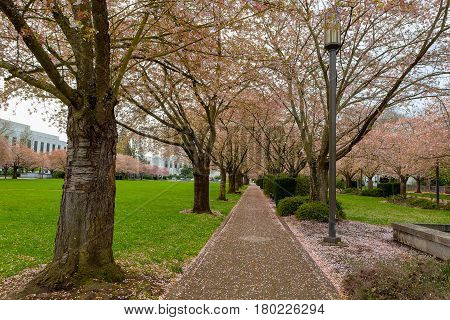 Cherry Blossom Trees by lamp posts along walking path in downtown park in Salem Oregon during spring season