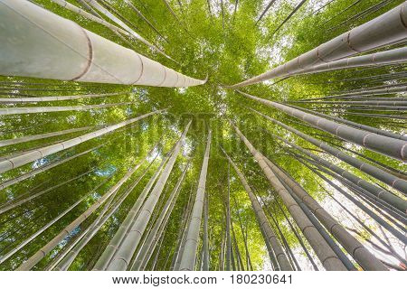 The Uprisen Angle Of Bamboo Forest With Glorious Morning Sunshine In Kyoto,japan.