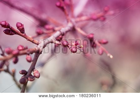 apricot flower bud on a tree branch branch with tree buds. Blossom tree over nature background. Spring flowers. Spring Background.