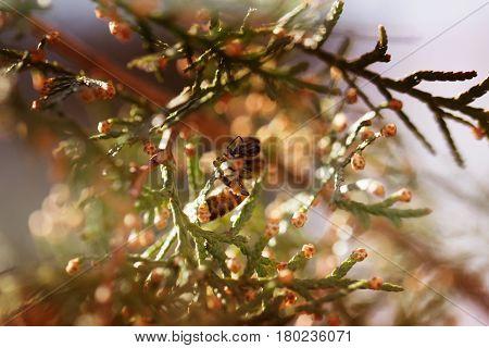 Bee on a green flower . Macro of honey bee on green flower. Macro of honey bee (Apis) feeding on flower