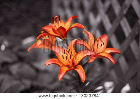Zephyranthes orange, red flower, black and white background, beautiful closeup. Fairy lily, rainflower, zephyr lily, magic lily, Atamasco lily, madonna lily and rain lily.