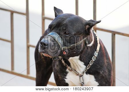 American Tiger Pit Bull Terrier is tied to the fence and expects the owners near the store