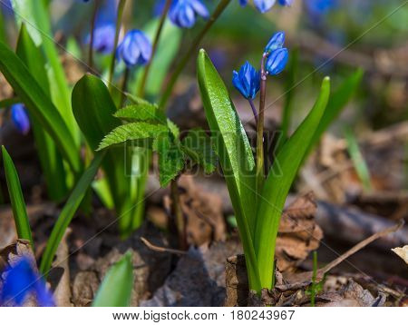 Spring came - the first flowers on natural blurry background close-up -Scilla bifolia