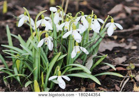 Snowdrop spring flowers Galanthus. Snowdrop Snowdrop forest