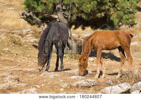 Two young horses (foal) is trying to find some food on dry burned out earth .