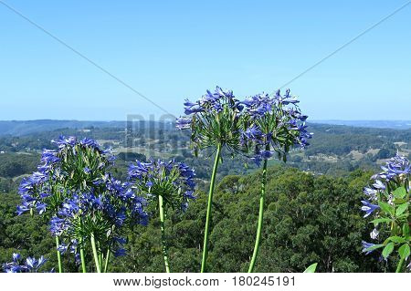 Purple blue Agapanthus flowers against a blue Australian sky countryside horizon