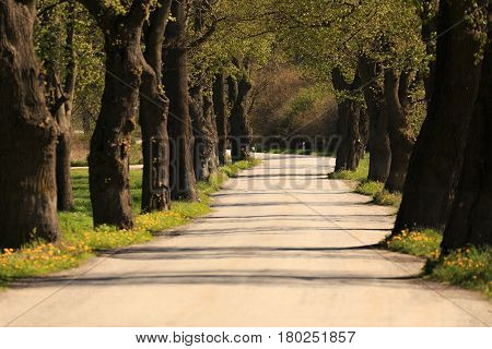 Asphalt Road And Tree Alley In Spring