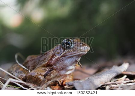 Frog at close range. Waking up in the spring reptiles after winter anabiosis.