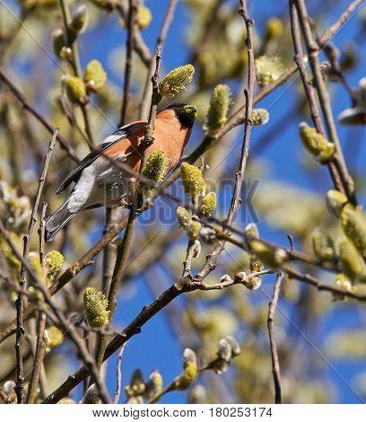 Male Bullfinch Feeding On Buds