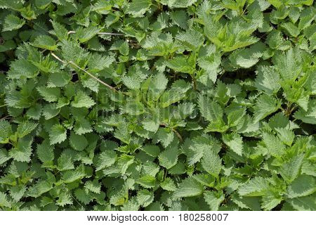Background Of The Young Nettle. Glade Of Nettle In The Garden