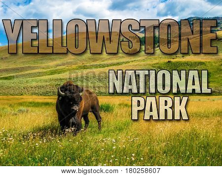 One Bison in the meadows of Yellowstone, Wyoming and Montana, United States. The Buffalo is a symbol of the American West. Picture with  title written of Yellowstone National Park.