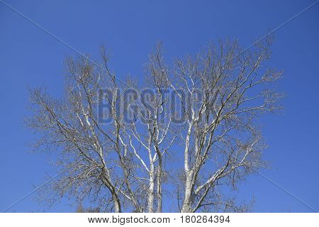 The Branches Of The Poplar Against The Blue Sky. Spring View Of A Silver Poplar