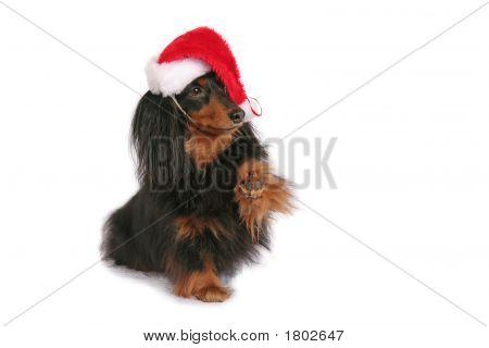 Christmas Dachshund In A Santa Hat