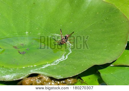Thirsty wasp drinks from a puddle of water on a pond leaf