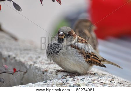 Male House Sparrow (Passer domesticus) on concrete Jardiniere