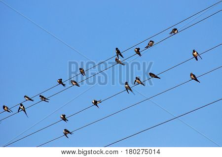 Group of Swallows sitting on wires and rest against the blue sky