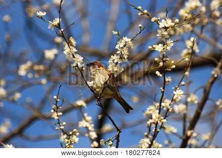 Male House Sparrow (Passer domesticus) on blooming branches