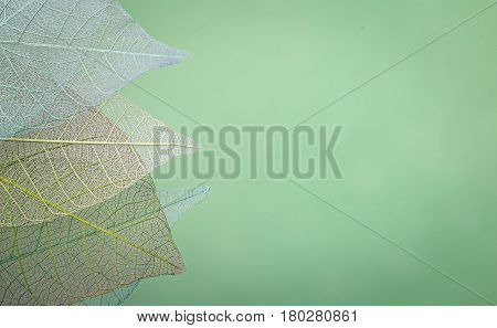 group of skeleton leaves on blured green background, close up