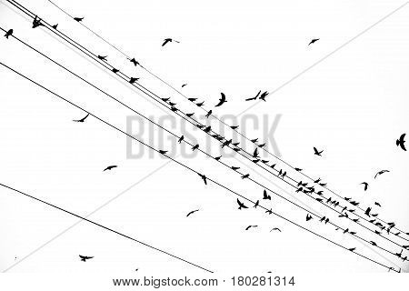 Birds on the electrical wires isolated, black and white