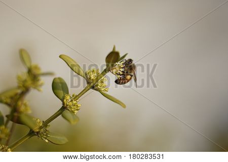 A Honey bee and Boxwood tree flower