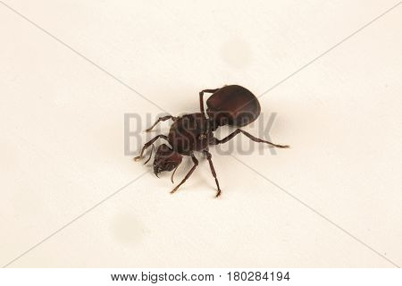 Queen Ant on white background. Nature of ants.