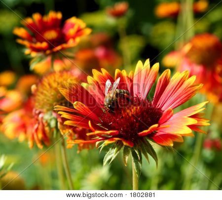 Honeybee On Gerbera
