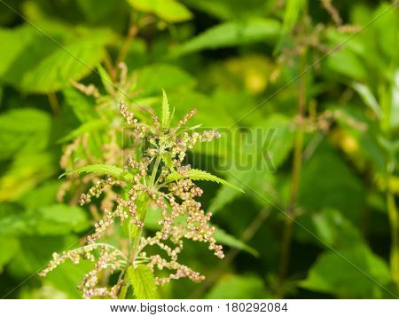 Common or Stinging Nettle Urtica dioica flowers on stem macro selective focus shallow DOF.