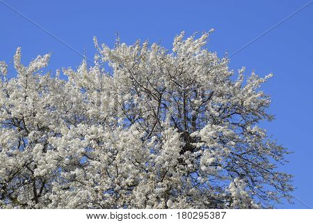 Spring Flowering Trees. Pollination Of Flowers Of Plum. Blooming Wild Plum In The Garden