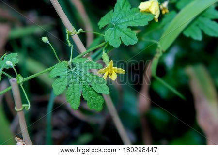 Female flower of bitter gourd or bitter melon on plant, fruit, food, nature.