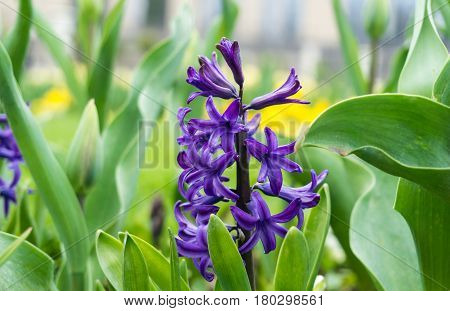 Close-up of violet Hyacinths in spring. Purple Hyacinth. Hyacinthus. Spring Flowers. Garden Flowers.