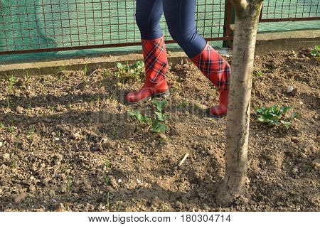 Woman's legs in red rubber boots with royal stewart tartan pattern in an orchard