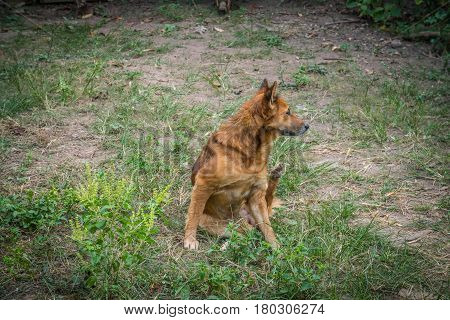 A Red dog going to scratching her ear