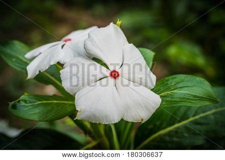 White flower in garden West indian periwinkle Madagascar